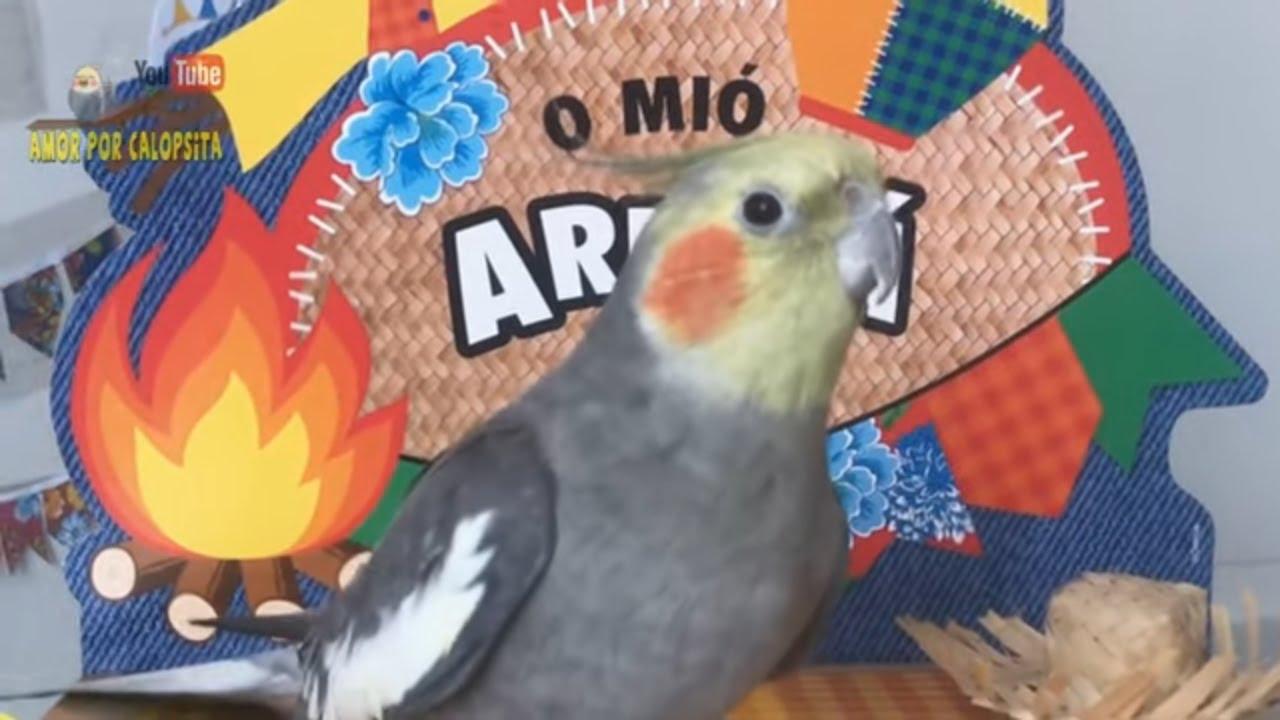 Calopsita Macho  Cantando