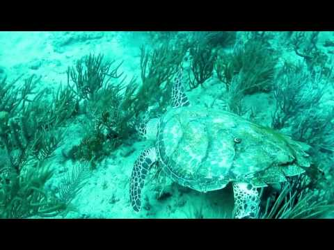170116 Sea turtle grazing