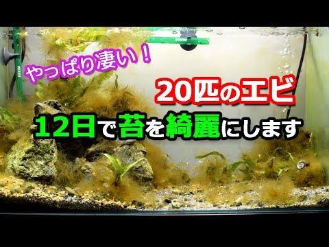 12日間で苔まみれの水槽が綺麗に!20匹のエビ!