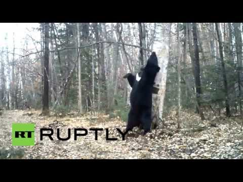 Russia: See this black bear 'DANCE' in Vladivostok forest