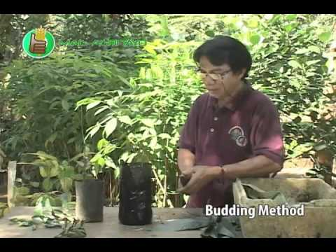 Asexual Plant Propagation Budding Amp Marcotting Youtube