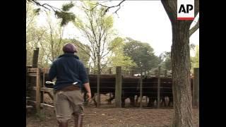 Global economic slowdown hits Argentina's beef farmers