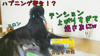 【スーパーハイテンション】カラスに缶ジュースを与えるとこうなるw 201...