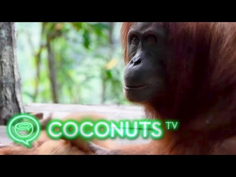 Sumatra's orphaned orangutans find a new life in the wild | Coconuts TV