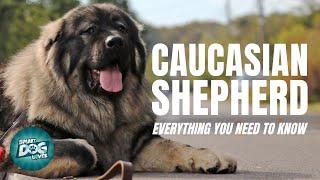 Caucasion Shepherd Dog Breed Guide   Russian Bear Dogs 101  Caucasion Shepherd