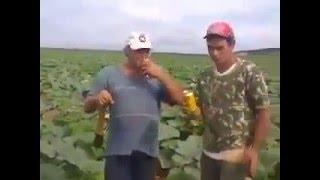 A melhor plantaçao do mundo (videos engraçados) plantaçao de cerveja,a melhor colheita do mundo,roça