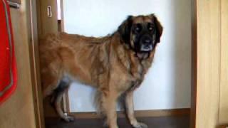 超大型犬.