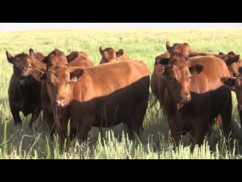 The American Rancher Featuring  American Gelbveih Association February 2017