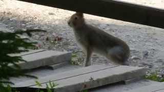 Живой мир «Малых Корел»: Заяц