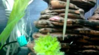 видео Тритон коротконогий краснобрюхий