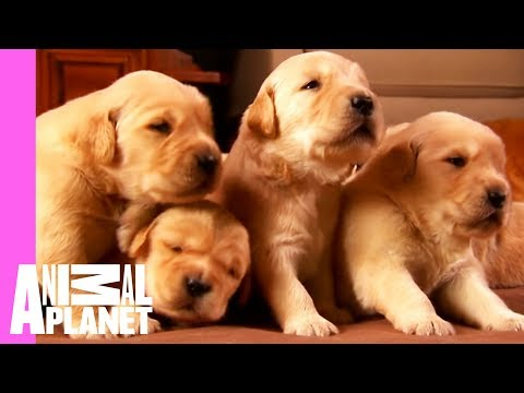 Growing Up Golden: Golden Retriever Puppies | Too Cute!