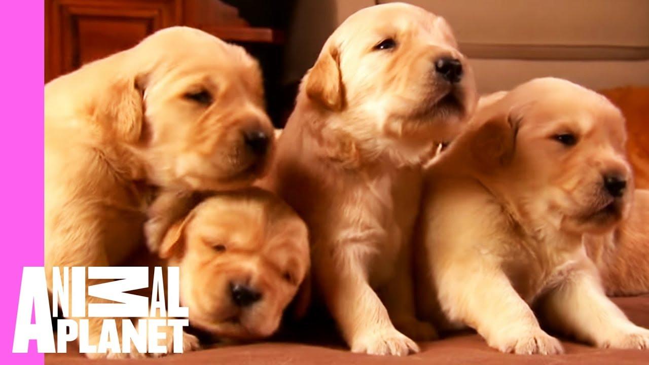 growing up golden golden retriever puppies too cute youtube