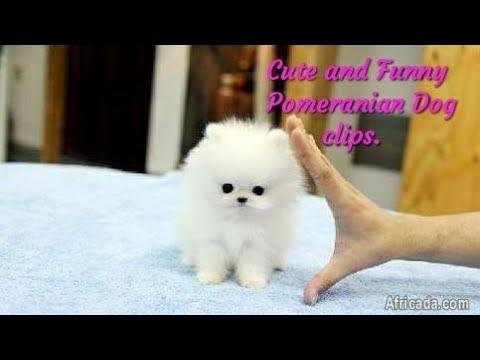 Cute and funny Pomeranian Dog video clips || Harshit kumar ||