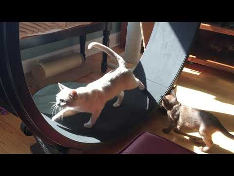 Two Burmese cats use One Fast Cat wheel together!