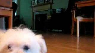 How To Train Your Puppy To Leave It...male Maltese Puppy 12 Weeks