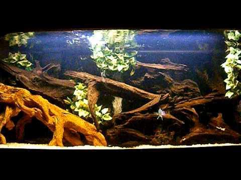 75 gallon Frontosa cichlid aquarium - YouTube