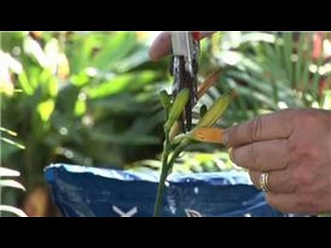 Plant Care: Lilies : How To Deadhead Reblooming Day Lilies