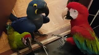 Пацаны на районе!) Приколы с попугаями!Разборка попугаев!Смешное видео!
