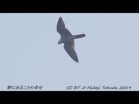 Peregrin Falcon Hunting ハヤブサ 狩り 中部の岬 10月下旬 野鳥FHD 空屋根FILMS#1119