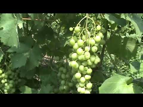 Виноград сверх ранний  Супер Экстра