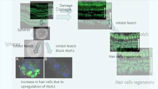 Induced Cochlear Hair Cell Regeneration & Recovery of Hearing after Acoustic Trauma - January 2013 -