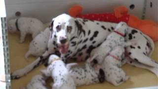 Caprilli Dalmatians, breeders of AKC registered Dalmatian Puppies