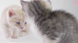 Cute Baby Kittens Playing Together (Newborn)