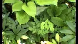 видео Хосты: сорта и виды на фото с названиями