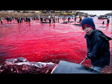 Red Sea - The Massacre of Whales in the Faroe Islands
