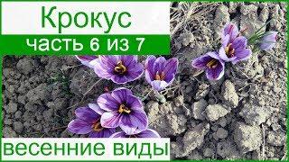 Весенне цветущие виды крокусов и сорта – описание
