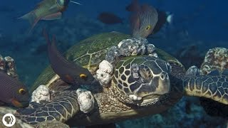 Sea Turtles Get Herpes, Too