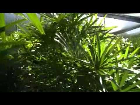 Australia's longest Rhapis Palm Walk