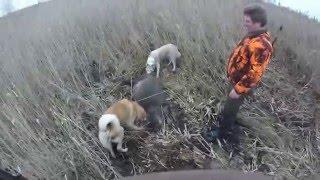 Охота на кабана в камышах видео