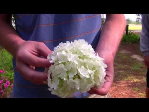 *Chinese Snowball Tree* +Viburnum Macrocephalum 'Goliath'+White+
