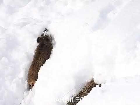 Jabalí en la nieve