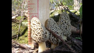 How do I find Morel Mushrooms? - Morel Truths: Episode 4