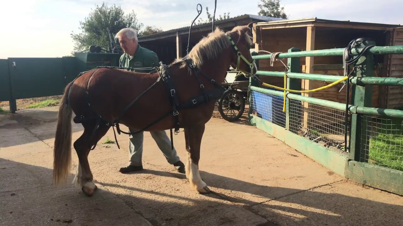 A simple way to harness a horse - put harness on - Barry Hook ...
