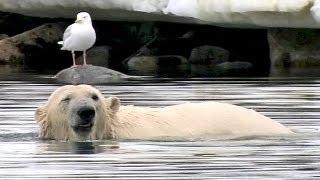 Cute Polar Bear Handstand - Extreme Fun! [HD]