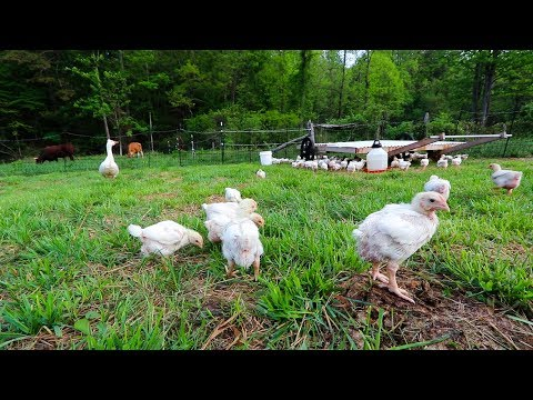 100 tiny Chickens Free Range without Fear of Attack