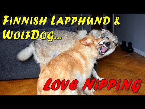 Czechoslovakian Wolfdog Lovec and Finnish Lapphund Izzie, love nipping, biting, playing dogs