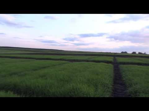 Ячмень яровой, сорт Паустиан (03.06.19), второй срок сева - 18.04.19.