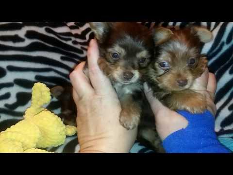 Chloe & Greysons AKC CHOCOLATE Yorkshire Terrier babies!