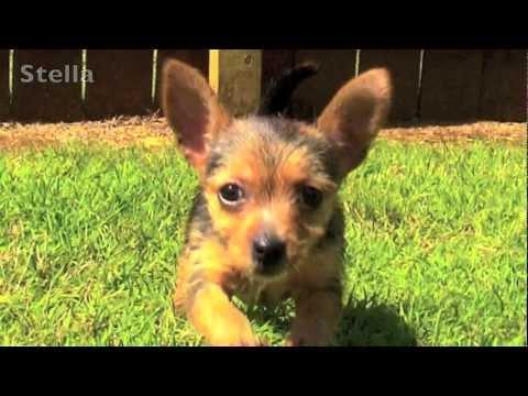 Chihuahua Yorkie Puppy
