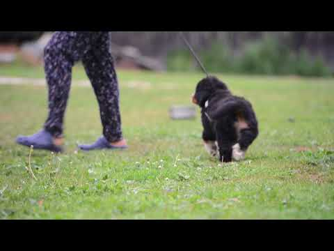 Bernese Mountain Dog Puppies - Milbu Summer Holidays. First time leash walking