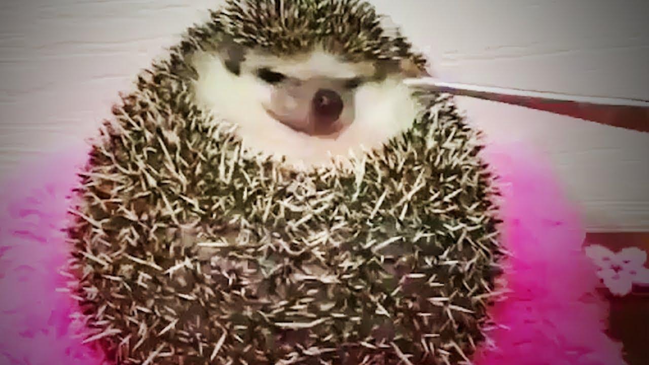 cute hedgehogs funny being