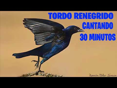 CD De Tordo Renegrido Cantando 30 Minutos