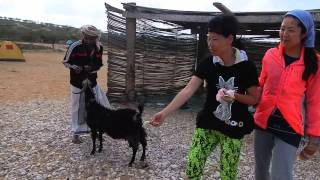 Day 10 Socotra - Qalansyia Detwah camp site goat feeding