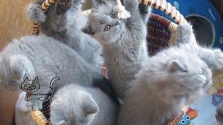 Live British kittens Cam (SilverySnowcats)series №3 /Веб-камера в питомнике Silvery Snow