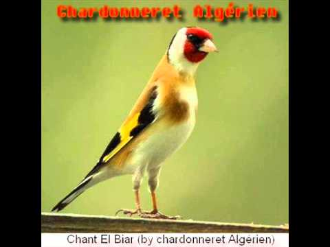 chant chardonneret algerien mp3