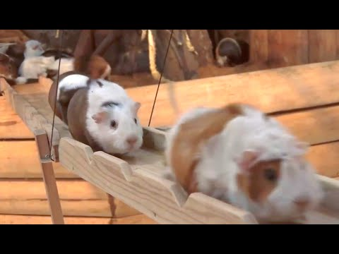 Guinea Pig Bridge at the Nagasaki Bio Park - song by Parry Gripp